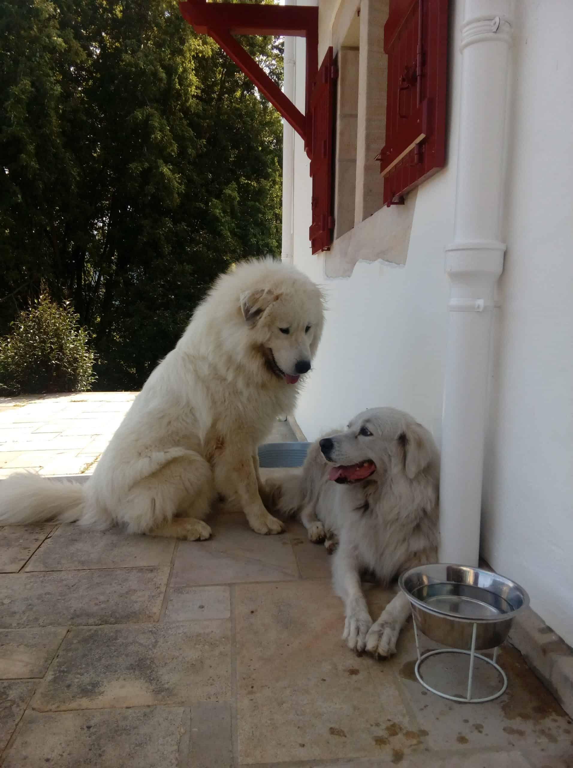 Bianca, chienne de Céline Guillou avec un autre chien.